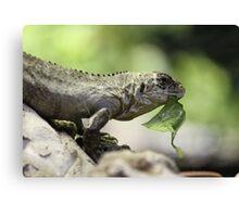 Lizard eating Canvas Print