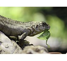 Lizard eating Photographic Print
