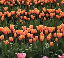 Tulips 2012 by galaxyosirissnc