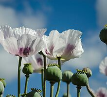 Opium Poppy Field  by sally-todd