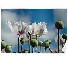 Opium Poppy Field  Poster