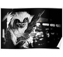 Cotton Top Tamarin Poster