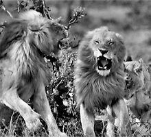 ANOTHER RARE MOMENT - THE LION – Panthera leo - LEEU by Magriet Meintjes