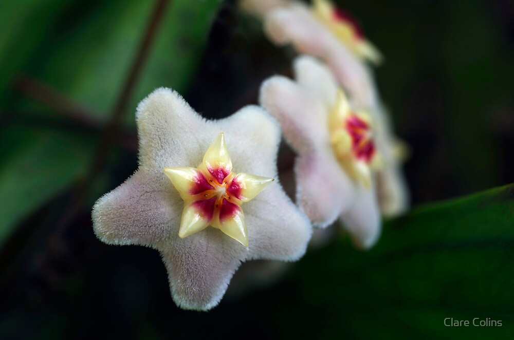 Hoya Carnosa by Clare Colins