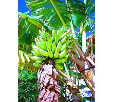 """Hawaii Bannana Tree"" by Carter L. Shepard Photographic Print"