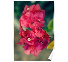 Beautiful Red Bougainvillea Poster
