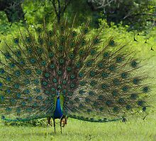 Peacock in jungle by Mudith Jayasekara