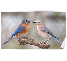 Beautiful Bluebirds Poster