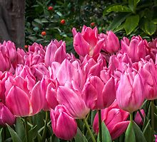 Pink Tulips II by PhotosByHealy