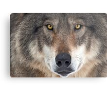 ... yes...I am a wolf-addict...  Metal Print