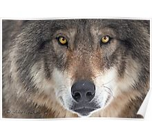 ... yes...I am a wolf-addict...  Poster