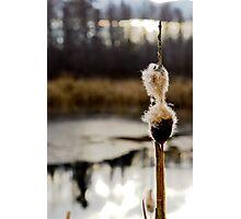 Downy Seeds Photographic Print