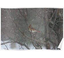 CARDINAL IN BLOWING SNOW Poster