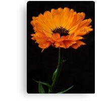 Deep orange marigold flower. Canvas Print