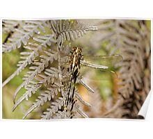 Yellow-striped Hunter (Austrogomphus Guerini) Dragonfly Poster