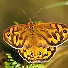 Common Brown (Heteronympha Merope) Butterfly by Matthew Hockley