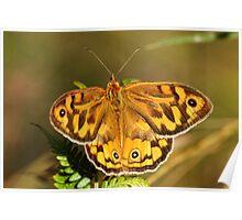 Common Brown (Heteronympha Merope) Butterfly Poster