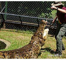 Saltwater Crocodiles Calendar 1 July Photographic Print