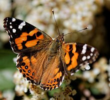 Australian Painted Lady (Vanessa Kershawi) Butterfly by Matthew Hockley