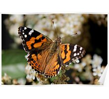 Australian Painted Lady (Vanessa Kershawi) Butterfly Poster