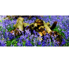 Blue bell woodland Photographic Print