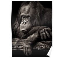 Orangutan contemplating where evolution jumped the shark Poster