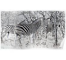 Zebra, Kruger Poster