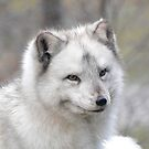 """Elf"" The Arctic Fox by Dorothy Thomson"