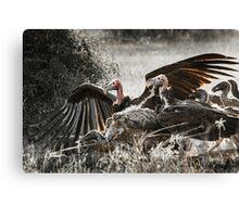 Vultures on carrion, Kruger Canvas Print
