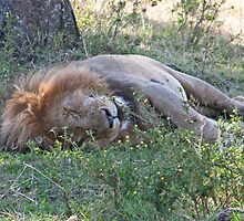 Dozing King by phil decocco