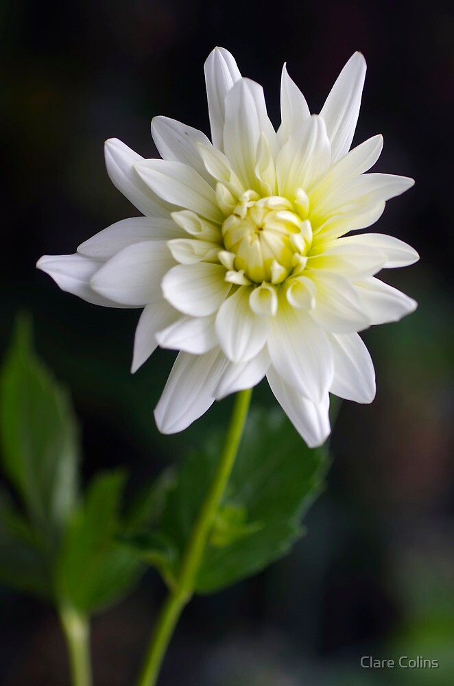 The Dahlia the Snails Forgot by Clare Colins