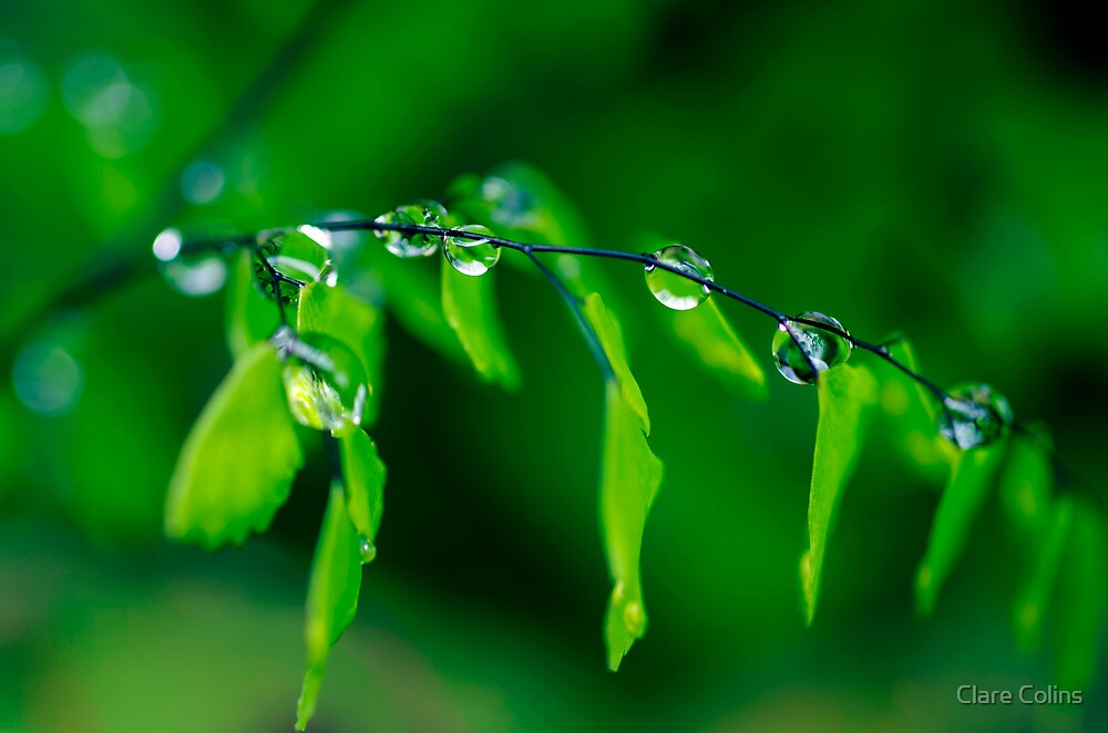 Dew Drops on Maidenhair by Clare Colins