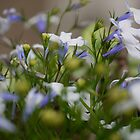 Lobelia in Macro by Larry Lingard/Davis