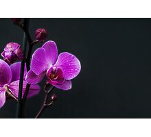 Purple Phalenopsis Orchid Photographic Print