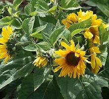 Sunflowers by shiraz