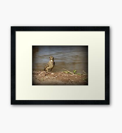 American Pipit Framed Print