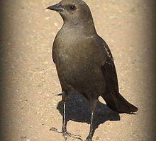 Brewers Blackbird~ Female by Kimberly Chadwick