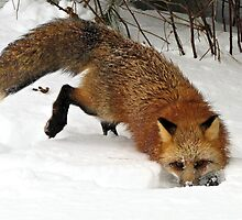 Red Fox in Winter by Tracy Engle
