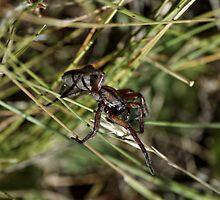 Wolf Spider (Lycosidae) by Matthew Hockley