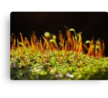 A group of very small beech trees Canvas Print