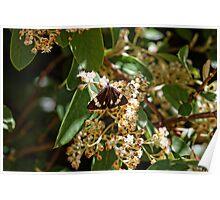 Senecio Moth (Cineraria Moth) Poster