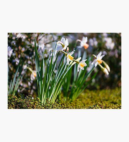 White wild narcissus  Photographic Print