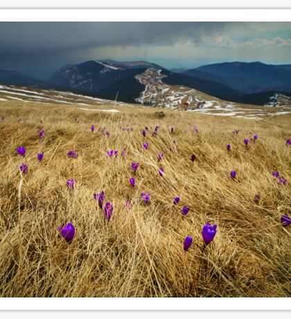 Crocus flowers on a meadow at mountain Sticker