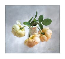 """Jude the Obscure"" English Roses Photographic Print"