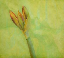 Amaryllis  by DIANE  FIFIELD