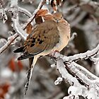 Mourning Dove in the Ice Storm by JMcCombie