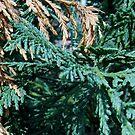 Cedar Trees by WildestArt
