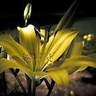 Daniellow Lily 8 by Stevegracy