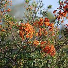 Orange Berries by Mark McReynolds