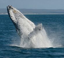 Humpback Whale Breaching 2 by Gotcha29
